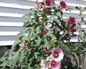 Perennial Hollyhock Seeds Mixed Pink and Magenta Antwerp Holly Hocks Alcea Filicifolia 20 ct Rust Resistant Organic Flower Seeds