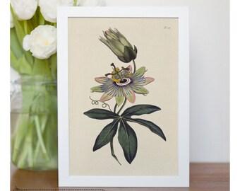 "Vintage illustration of Soft - Grass - Passion Flower - framed fine art print, flower art, 8""x10"" ; 11""x14"", FREE SHIPPING - 125"