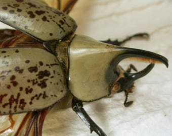 Western Hercules Beetle Pair- Dynastes grantii - Real Framed Insect