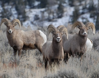 Big Horn Sheep, Dubois Wyoming