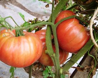 Heirloom Garden Seed Rose Tomato  Non-GMO Naturally Grown Open Pollinated 30+ seeds Gardening