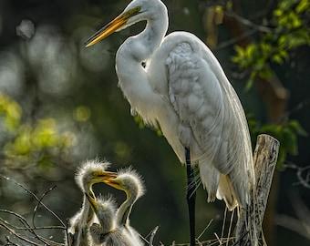 White Heron, Heron with Babies