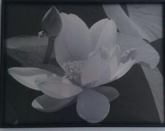 Black & white. Lotus Flower - blossom time.