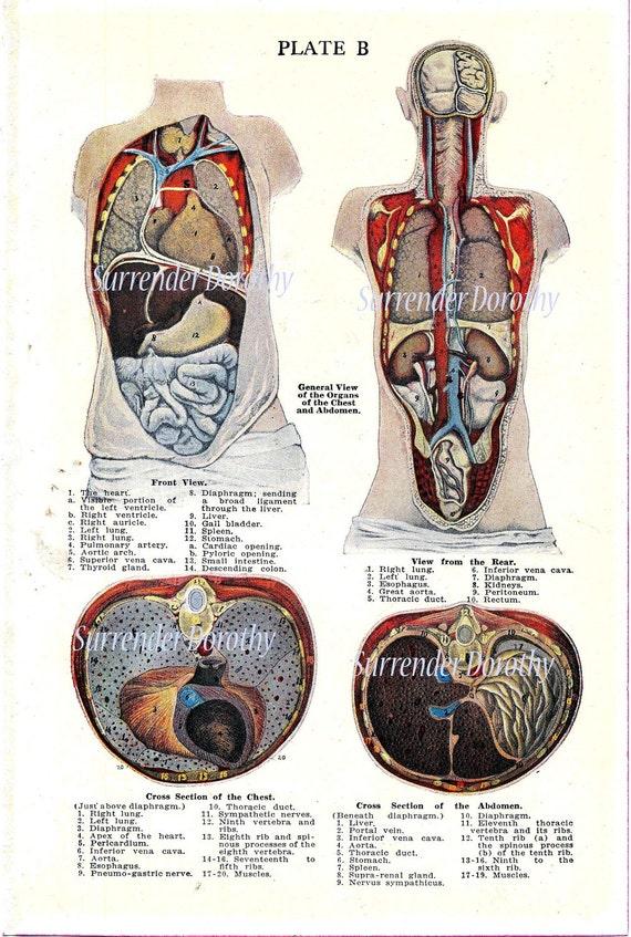 Wunderbar Bauchn Anatomie Bilder - Menschliche Anatomie Bilder ...