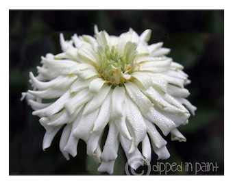 Wall Art, Photography, Printable, White, Flower, Digital Instant Download Art Photo, Zinnia