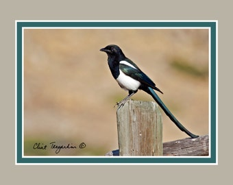 Magpie, note card