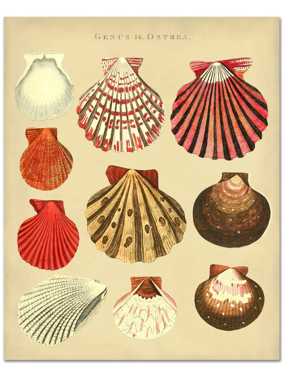 Seashells Print of Oyster Shells Poster Beach House Wall
