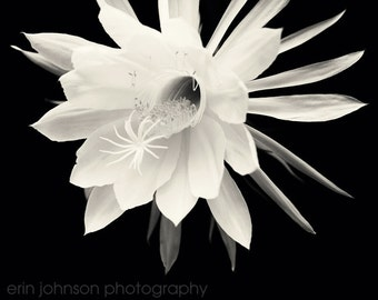 Flower Photography, Night Blooming Cereus  Fine Art Photograph, Black and White, Wall Art, Home Decor