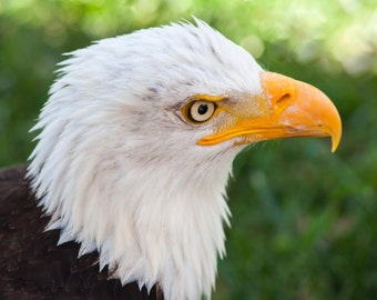 Eagles. Bald Eagle. Hawks. Color Print. Birds of Prey. Raptors. Wildlife and Nature Photography. Liz and Rich Photography.