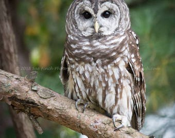 Barred Owl print signed by photographer 8x10 11x14 5x7