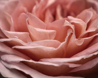 Pink Rose / Digital Download / Flower Photography / Home Decor / Nature Photography