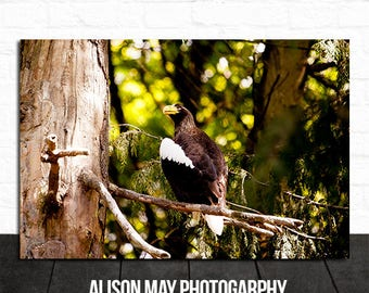 Peregrine Falcon, Falcons, Birds of Prey, Wildlife, Nature Photography. Bird of Prey Peregrine Falcon Hawk Photo, Wildlife Photography, Bird