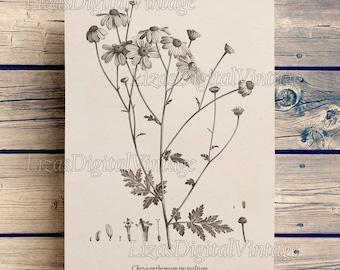 Flower print, Chrysanthemum, Antique floral print, Botanical print vintage, Flower illustration, Floral art, Instant download printable