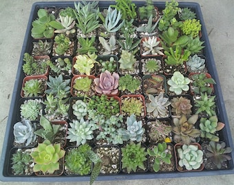 "10/20/30 Assorted 2"" Pot Succulents - wedding, favors, arrangements, wreaths, - Exotic Succulent Plants"