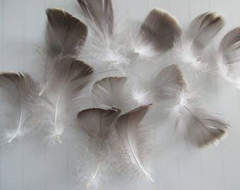 10 natural goose feathers