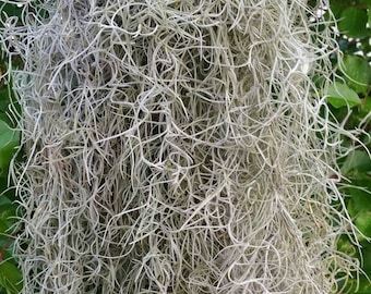 spanish moss live (1/2 pound)