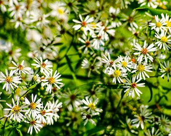 Floral Print, Wildflower Photography, Picture of Flowers, White Petals, Wall Art, Fine Art Photography, Home Decor, Nature Photography