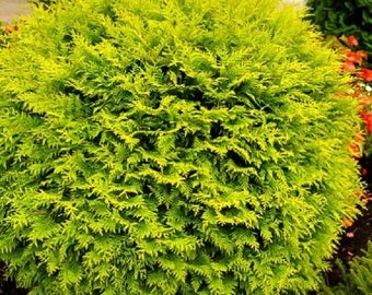 Golden Globe Arborvitae Evergreen Cedar Tree  Seeds Gorgeous golden foliage all year Naturally round no clipping a very toughhardy evergreen