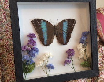 Real Framed Blue Banded Morpho Butterly in 8x8 wooden frame