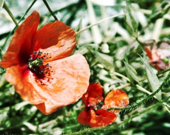 Wall art Poppies - wall decor photography - Fine art for any plase - canvas or paper print in sizes 8x12, 12x18, 18x24 or 24x36