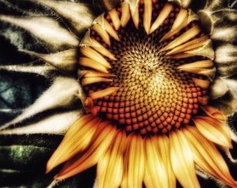 Flower Photography, Sunflower, Nature, Flower, Wall Art, Photo Print, Bucks County, Pennsylvania, fine art photography
