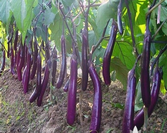Long Purple Eggplant Heirloom Seeds - Non-GMO, Open Pollinated, Untreated