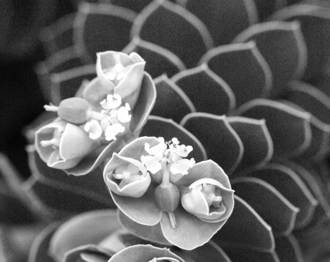 Black and White Succulent Art Photo Print, Creeping Myrtle Spurge Photography Card or Print, Geometric Succulent Instant Download Photo Art