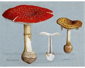 antique amanita muscaria mycology print fly agaric illustration DIGITAL DOWNLOAD