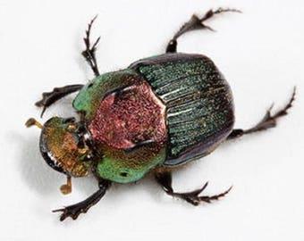 ONE Real Green Phanaeus vindex female scarab dung beetle pinned