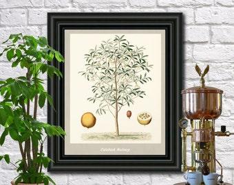 Cabash Nutmeg antique botanical print Vintage Cabash Nutmeg illustration Kitchen wall art  0435