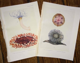 c. 1907 set of two sea life prints - the sea shore original antique sea life ocean print - sea anemones