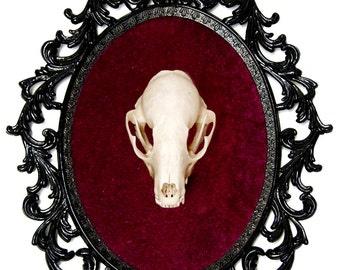 Real Raccoon Skull Taxidermy - Victorian Framed Object - Wall Art Decor 10x13in