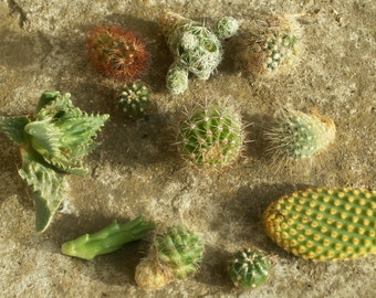 Cactus offsets mixed
