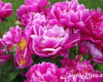 Peony Flower photography Flower Art Flower Photo Wall Decor Nature Photograph Pink Peony Valentines Day