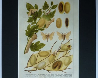 Vintage Print of Silk Worms, Moths and Cocoons Various stages of development of the Silkmoth, Available Framed, Moth Art, Nature Picture