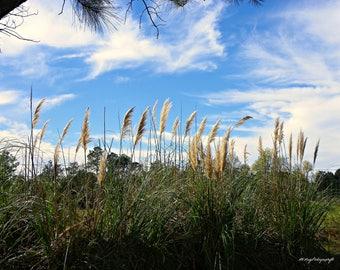 Ornimental Grass / Sky / Clouds / Landscape / Free US Shipping / MVMayophotography