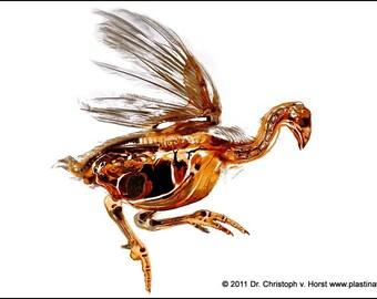 Turkey plastination - bird anatomcial specimen - print