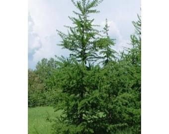 American Larch Tree Seeds