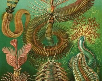 Sea Creatures Chaetopoda Plate  - Ernest Haeckel Biological Poster - Evolution - Giclee Fine Art Print -
