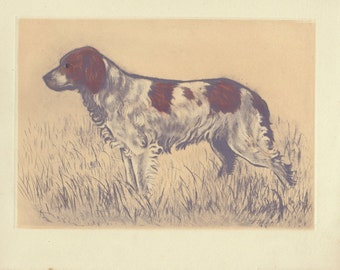 Antique Dog Print, Picard Picardy Spaniel Print, Hunting Dogs Sporting Breeds 1944