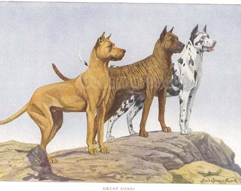 1900s Print GREAT DANES Standing on Rocks by Louis Agassiz Fuertes