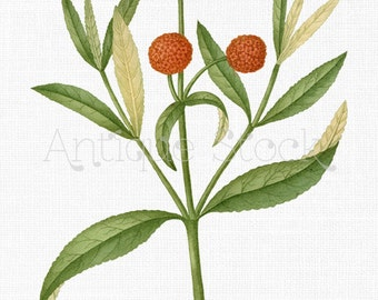 Flowers PNG Clip Art Instant Download Graphic - Buddleja Globosa Orange Ball Tree for Wall Art, Decoupage, Crafting, Scrapbooking...