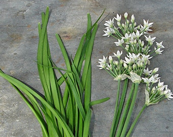 Garlic Chives Heirloom Herb Seeds Non-GMO Naturally Grown Open Pollinated Gardening