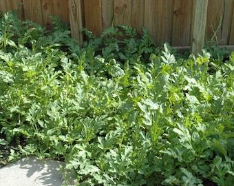 Heirloom Edible Seeds, Watermelon, OrangeGlo, 20 Seeds Per Pack, Citrillus lanatus, organic, Organic Gardening, GMO Free