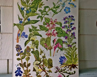 Botanical Print Original Book Page (Plate #20) from Wild Flowers of the World
