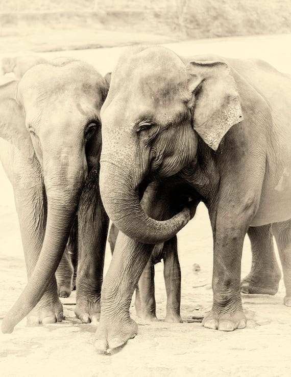 Elephant prints, Sri Lankan Elephants, Animal prints, Black and White Print, Travel Print, Limited Edition Prints