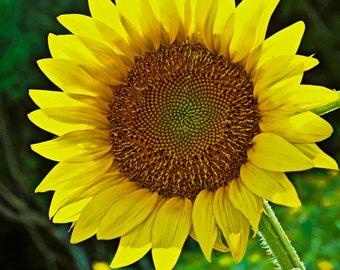 Huge Yellow Sunflower- Fine Art Photograph Print Picture