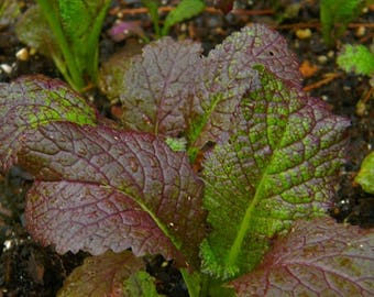NON GMO Red Giant Mustard Seeds QTY. 1,200 Heirloom Open Pollinated