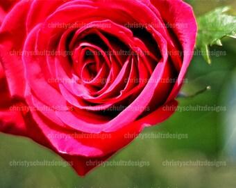 Rose Flower Print - Fine Art Photography