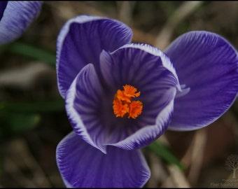 Spring Crocus Photography Print